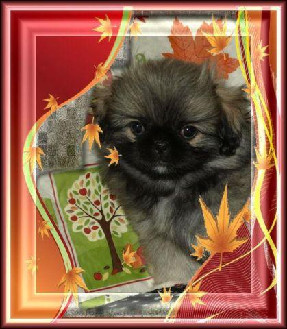 Akc Pekingese Puppies And Young S