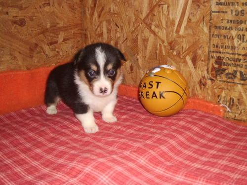 Akc Pembroke Welsh Corgi Pups For Sale In Greenville Florida