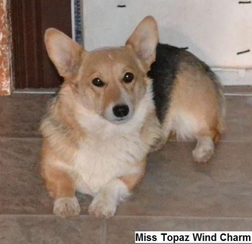AKC Pembroke Welsh Corgi Unborn Puppies