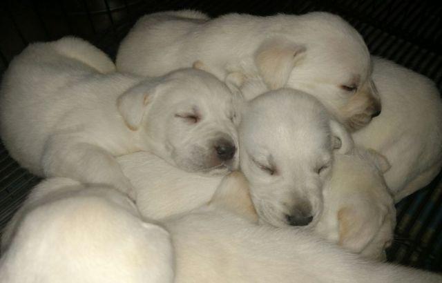 Akc Polar Bear White Labrador Puppies For Sale In Conroe Texas