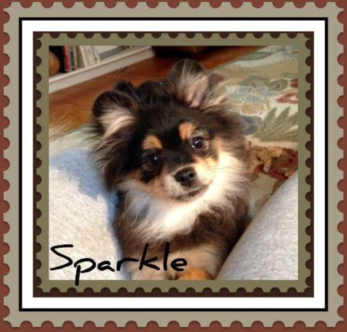 AKC Pomeranian Female Price includes Spay DOB 7/4/14