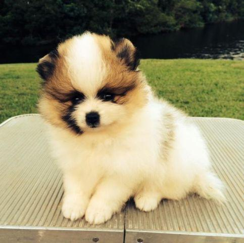 pomeranian puppies for sale in florida akc pomeranian puppies for sale in jacksonville florida 5294