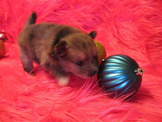 AKC Pomeranian Puppies Champion bloodlines
