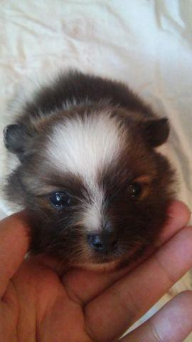 Pomeranian For Sale In Oklahoma Classifieds Buy And Sell In