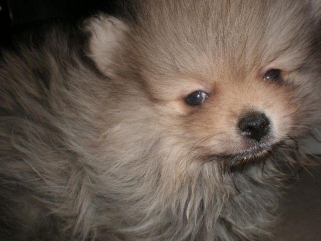AKC Pomeranian Puppy for Sale - 9 Weeks Old