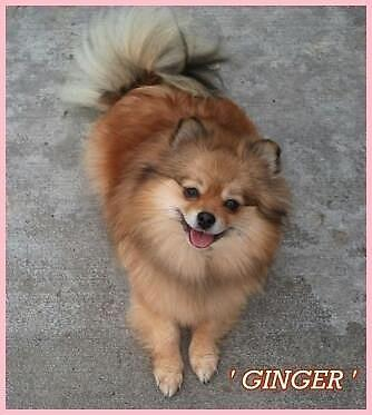 AKC Pomeranian Retired Girl
