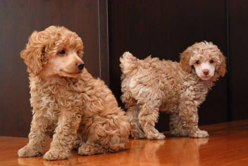 Akc Poodle Pups For Sale In Lynchburg Virginia Classified