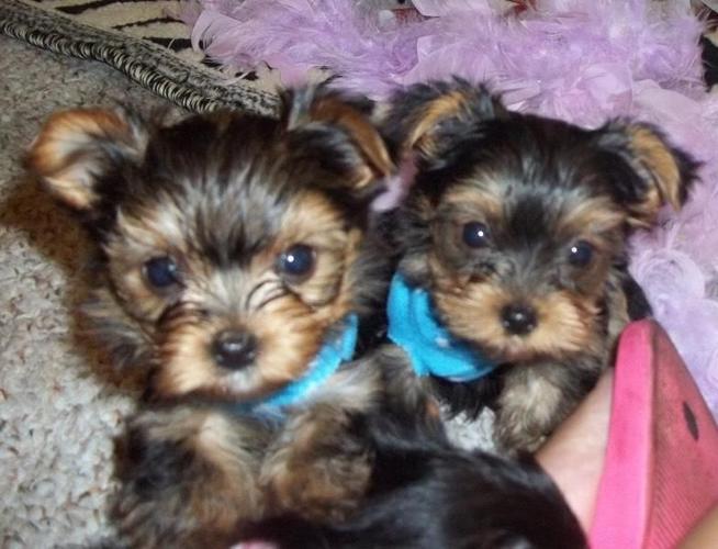 Trained Dogs For Sale In Atlanta Ga