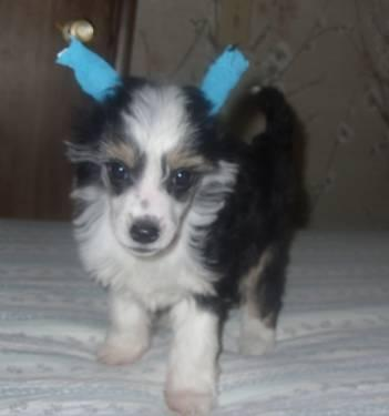 Akc Powder Puff Male Chinese Crested For Sale In Oroville