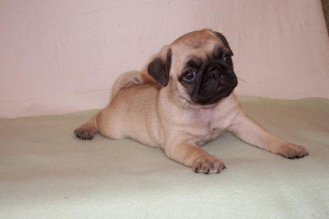 Pug Puppy For Sale in ESTACADA, OR, USA