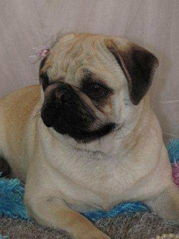 akc pug puppies for sale akc pug puppies for sale in lucerne valley california 1674