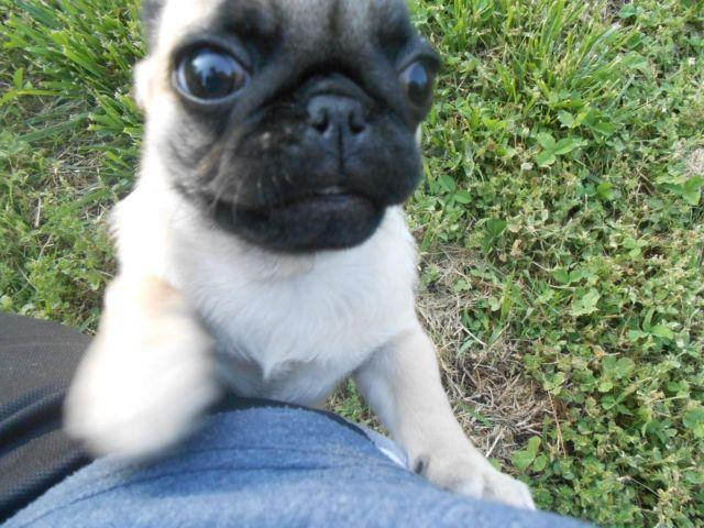 akc pug puppies for sale akc pug puppies for sale in linwood north carolina 5015