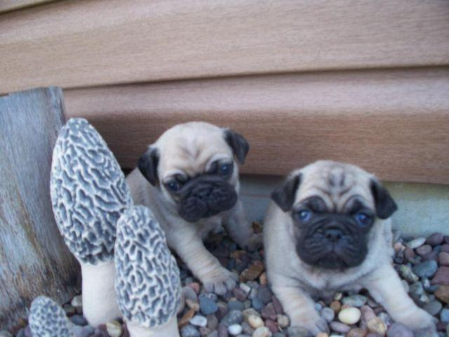 akc pug puppies for sale akc pug puppies for sale in barry illinois classified 4639