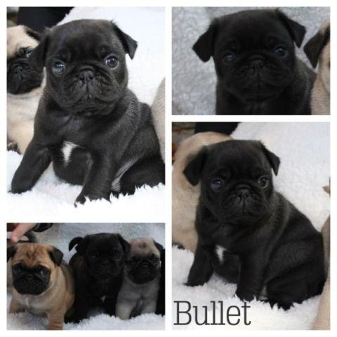 akc pug puppies for sale akc pug puppies for sale currently 5 weeks old for sale 4924
