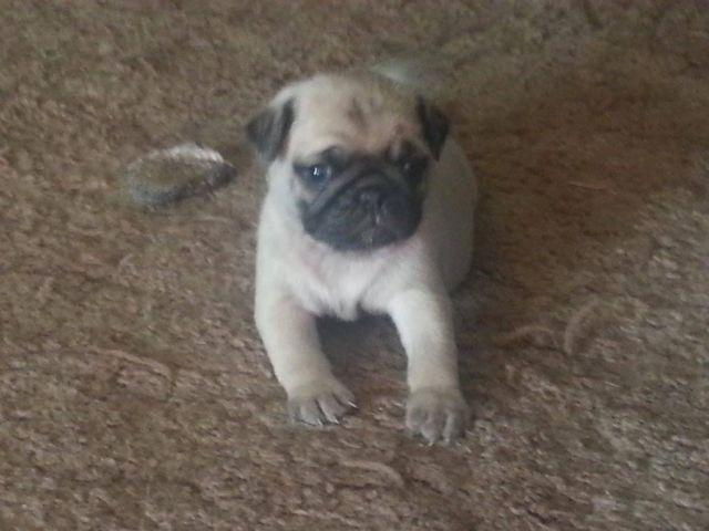 akc pug puppies for sale akc pug puppy for sale in lotsee oklahoma classified 2928