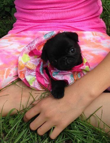 Best Pug Black Adorable Dog - akc-pug-puppy-tiny-black-adorable-baby-girl-americanlisted_36906693  Perfect Image Reference_16519  .jpg