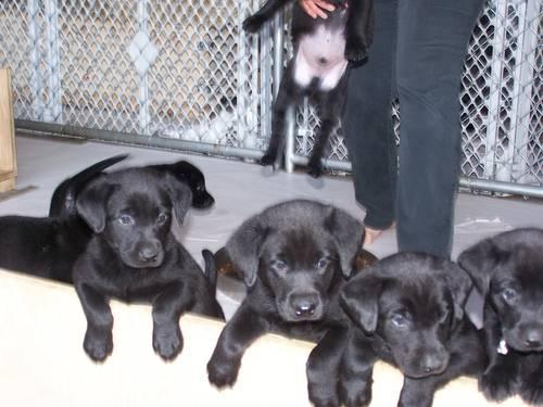 Akc Purebred Labrador Puppies National Champion Bloodlines For Sale
