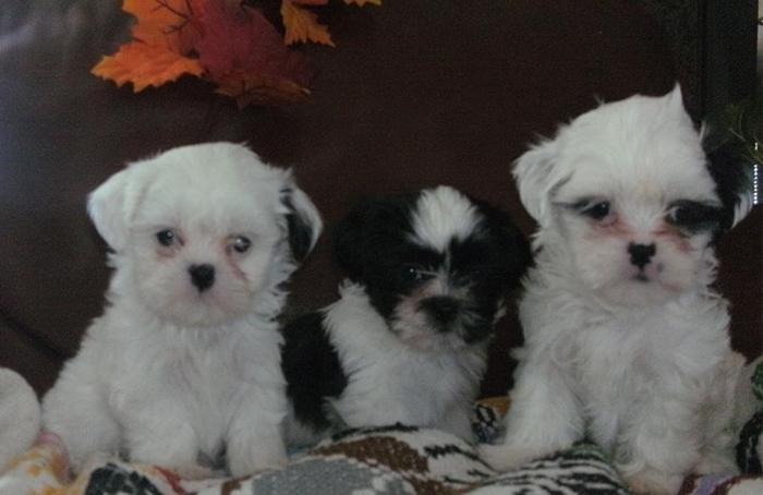 Akc Purebred Tiny Toy Shih Tzu Pups For Sale In California City