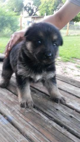 Akc Quality German Shepherd Pups