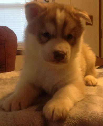 AKC Quality Siberian Husky male puppies