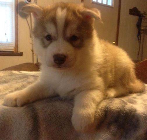 AKC Quality Siberian Husky male puppy