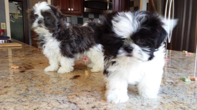 Akc Rare Bluewhite Blackwhite Imperial Female Shih Tzu Puppies