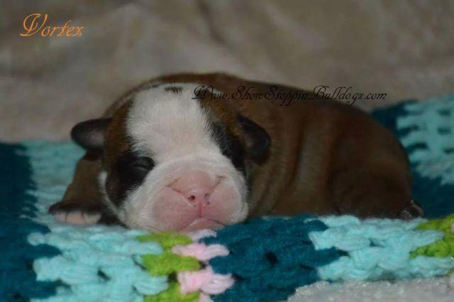 Akc Rare English Bulldog Puppies For Sale In Loveland Ohio
