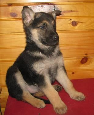 Akc Rare German Shepherd Puppies For Sale 8 Weeks For Sale In