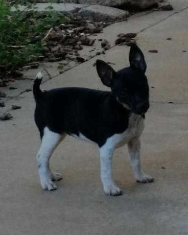 akc rat terrier akc rat terrier puppy for sale in bucks bar california 7960