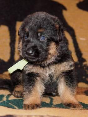 red and black german shepherd puppies for sale akc red and black german shepherd puppies for sale in coal 4517