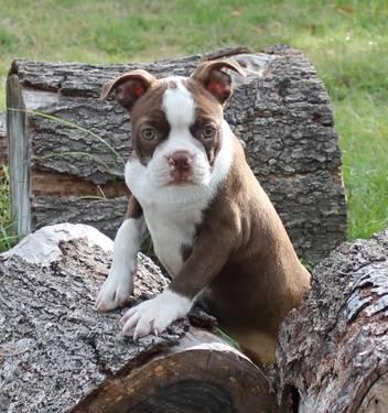 AKC red and white female boston terrier puppy. Last