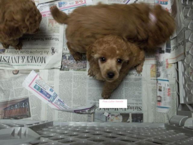 Pets And Animals For Sale In La Center Washington Puppy
