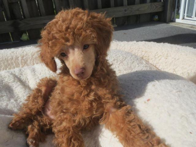 Akc Red Apricot Toy Poodle Puppies