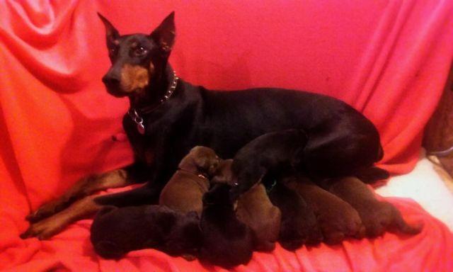 AKC RED/BLACK AND TAN DOBERMAN PINSCHER PUPPIES