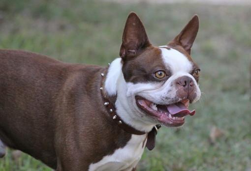 Akc Red Boston Terrier Puppies For Sale In Macon Georgia Classified