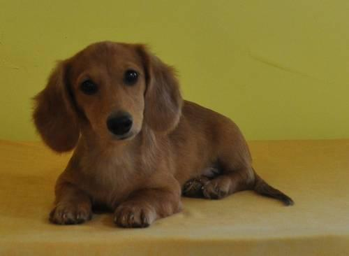 Sale Wire Puppies In Haired Texas For Dachshund