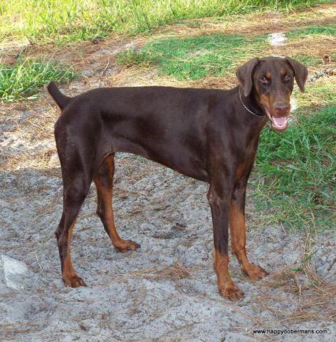 doberman puppy for sale in florida classifieds buy and sell in