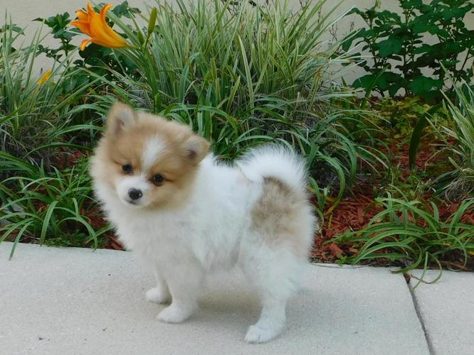 Akc Red Merle Pomeranian Puppy | Red Pomeranian Puppy For ...