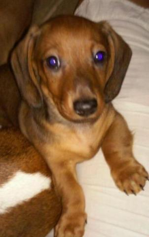 Miniature dachshunds for sale in houston tx