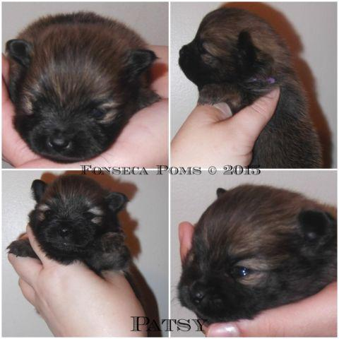 Akc red/org sable female pomeranian!