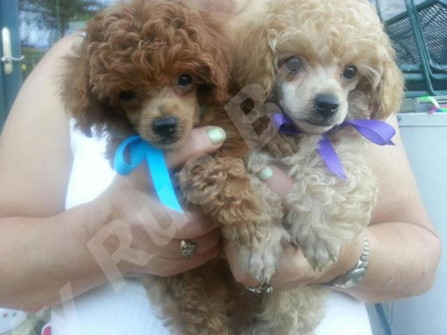 AKC RED SMALL & APRICOT MALE POODLE PUPPIES