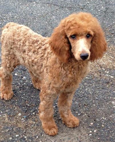 Akc Red Standard Poodle $700