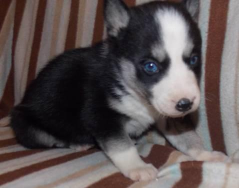 Akc Red White Female Siberian Husky Puppy 8 Weeks Old Ready Now