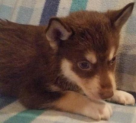 AKC Red & White Siberian Husky Puppy Bi Eyes Ready Now for