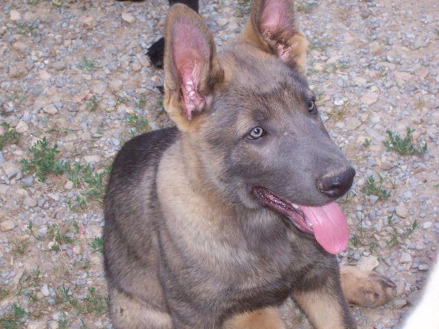 German Shepherd Blue And Tan AKC Reg. Blue and Tan ...