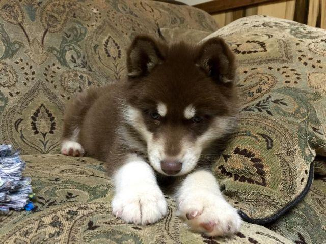 alaskan husky puppies for sale in charlotte nc
