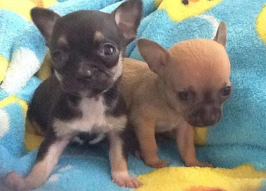 chihuahua for sale in va akc reg chihuahua puppies for sale in hton virginia 9081