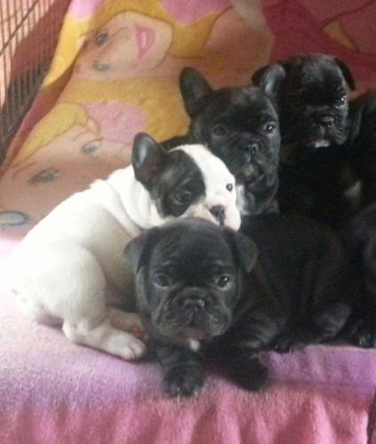 Akc Reg French Bulldog Pups With Pedigree Certificate For