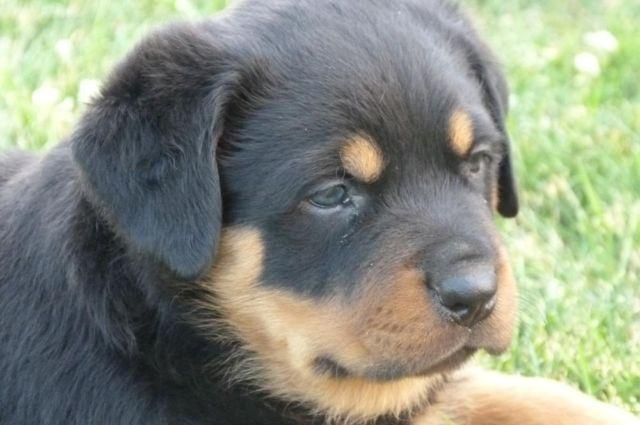 Akc Reg German Rottweiler Puppies For Sale In Nampa Idaho