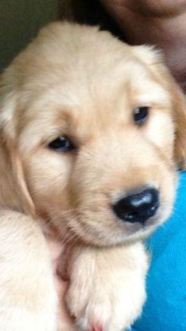 Akc Reg Golden Retriever Puppies For Sale In Delhi Texas